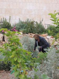 En nabo går forbi og plukker med seg noen blader til å ha i teen eller i salaten. Foro: Rebekka Rødner