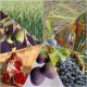 Syv frukter